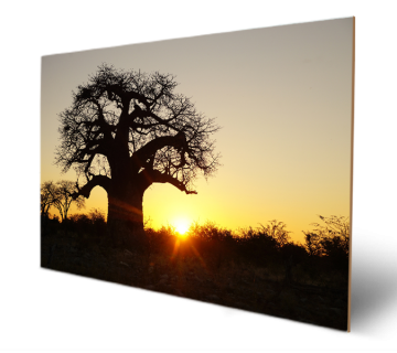 Baobab Trees the African Bush Sunset Wooden Print