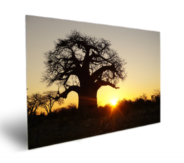 Baobab Trees are Such an Iconic Symbol of The African Bush Especially at Sunset