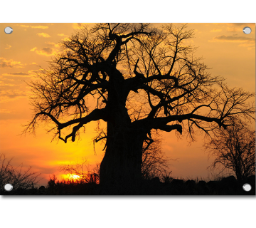 Sunset Baobab Tree In Tanzania African Forest